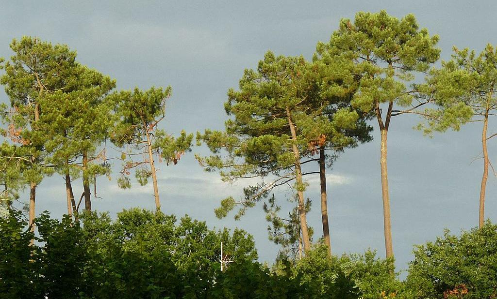 Bosquet de pins maritimes