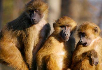 enclos des singes