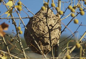 Nid de frelons asiatiques - Vespa velutina