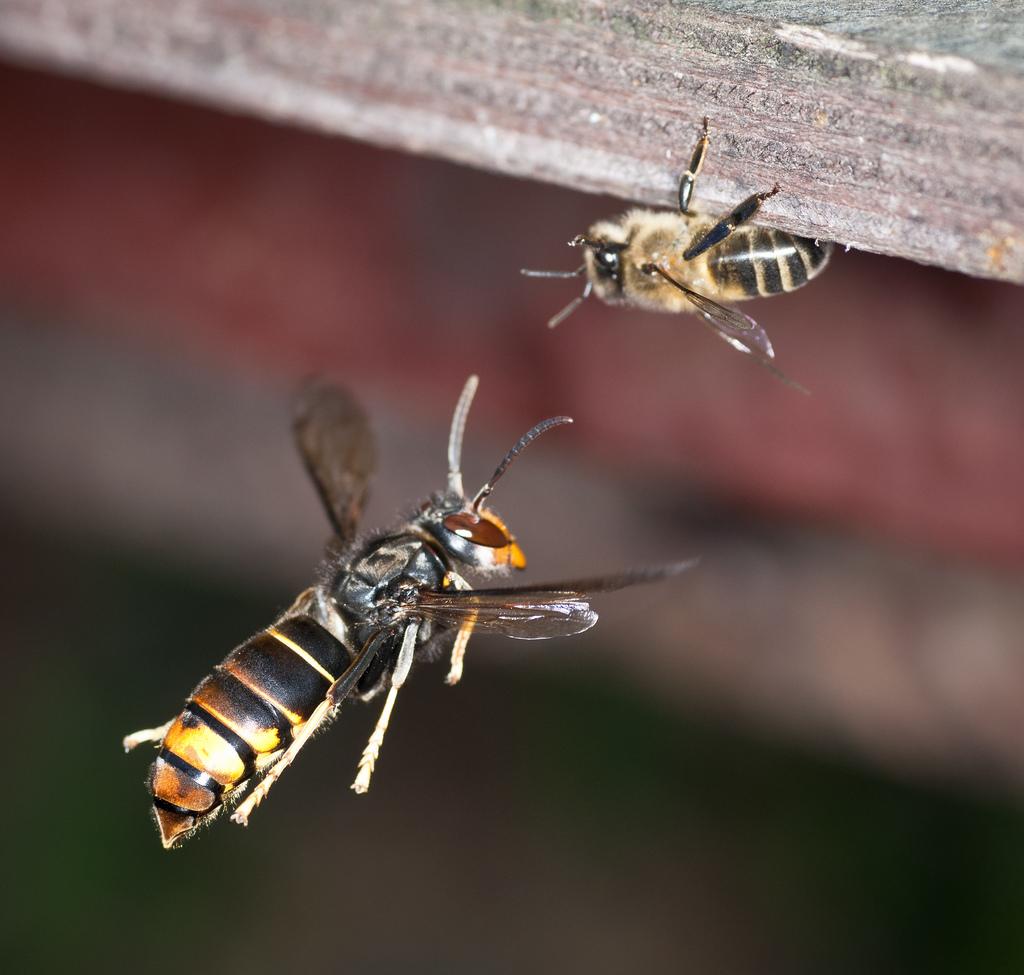le frelon asiatique, néfaste pour les abeilles