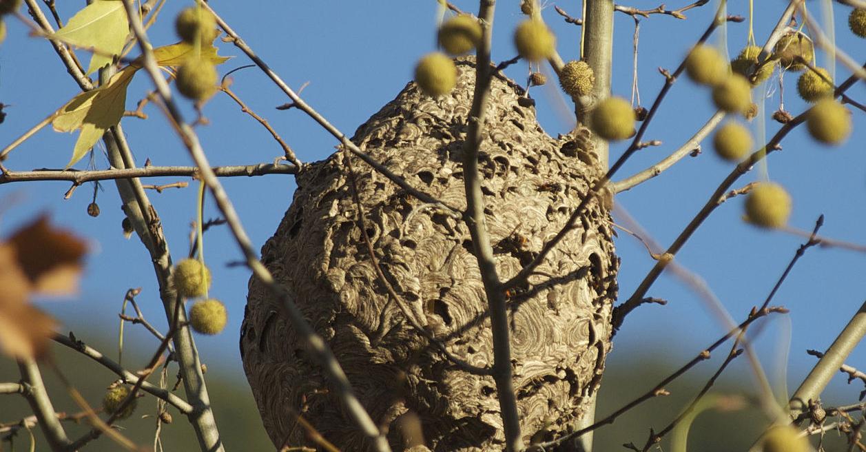 Vespa velutina : nid