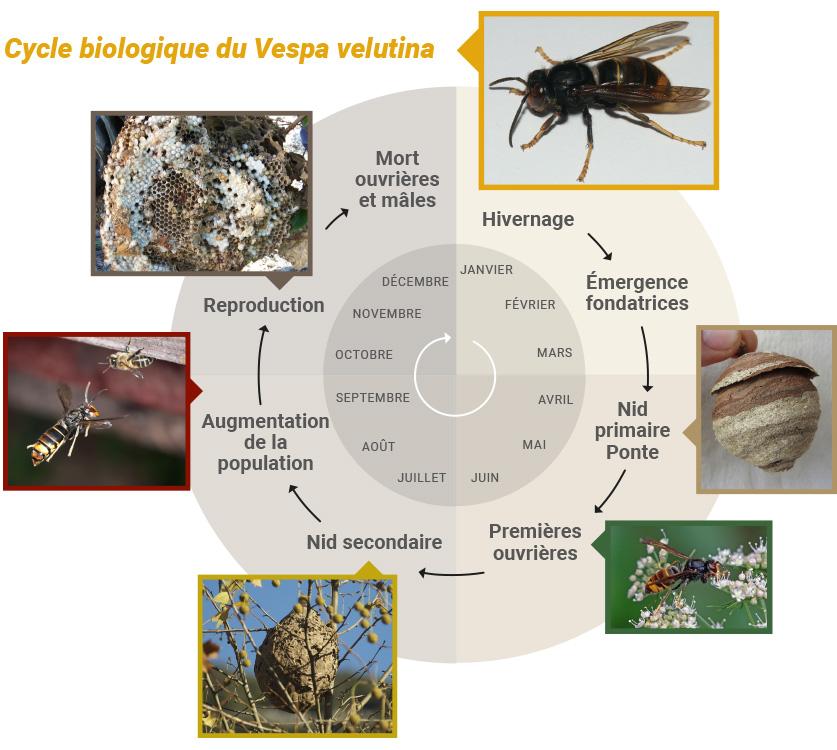 Cycle biologique du Vespa velutina