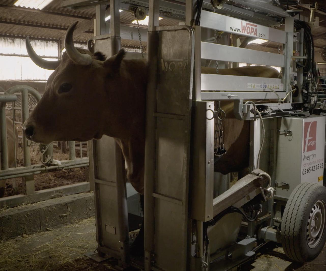 le pareur bovin doit avoir le matériel de contention des animaux