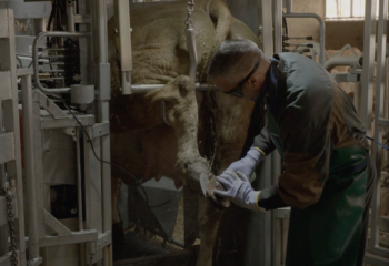 métier et formation Farago : pareur bovin